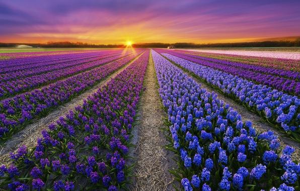 Картинка поле, закат, цветы, весна, плантация