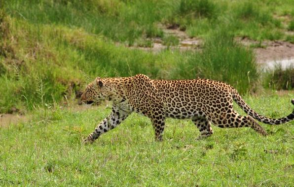 Картинка трава, хищник, леопард, дикая кошка, крадется