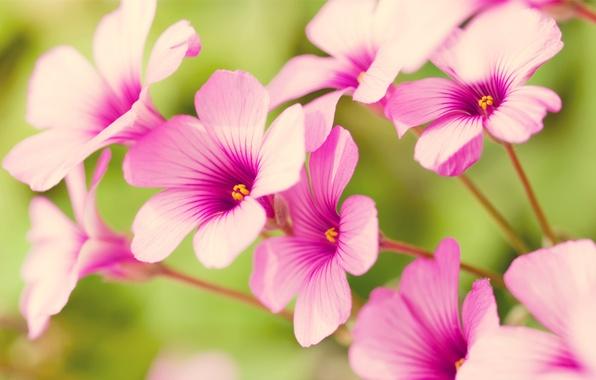 Картинка цветы, розовый, лепестки, пастель