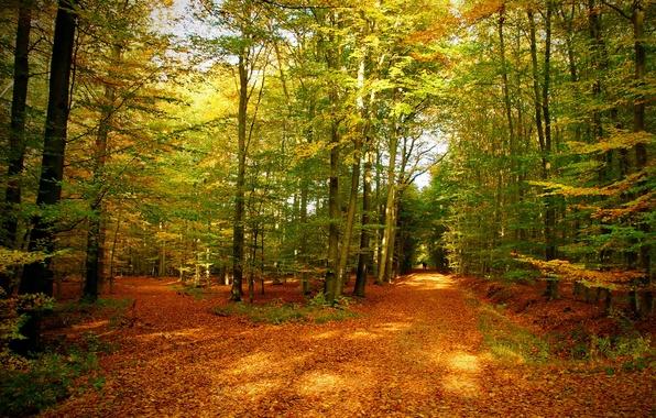 Картинка осень, лес, листья, деревья, природа, фото, тропа