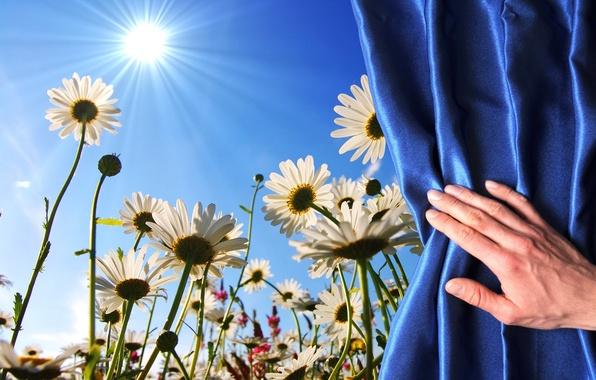Картинка поле, цветы, фон, widescreen, обои, рука, ромашки, ромашка, стебель, ткань, wallpaper, занавес, цветочки, широкоформатные, background, …
