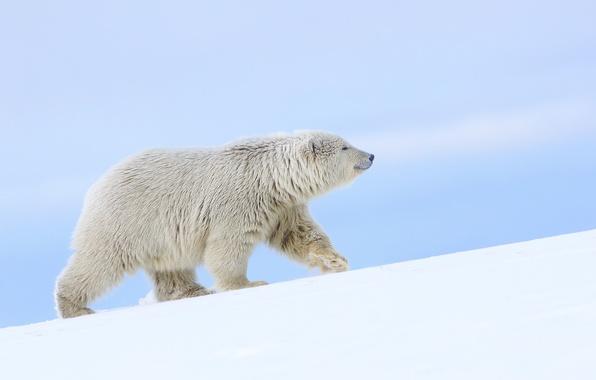 Картинка снег, медведь, Аляска, белый медведь, полярный медведь