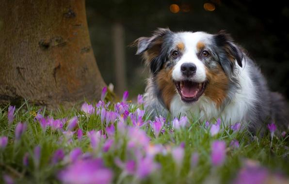 Картинка радость, цветы, настроение, собака, весна, крокусы, Австралийская овчарка, Аусси