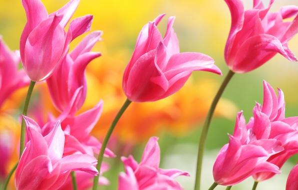Картинка лепестки, тюльпаны, розовые, бутоны