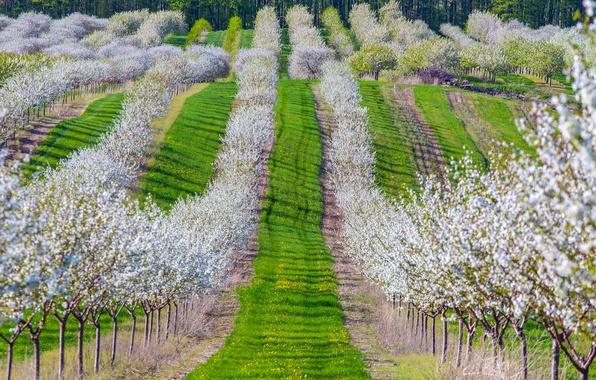 Картинка трава, деревья, вишня, весна, сад, цветение