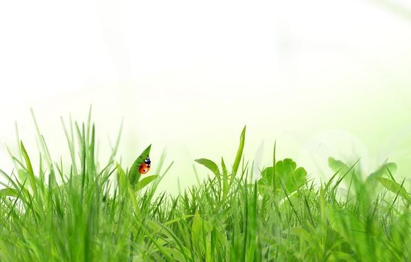 Картинка трава, божья коровка, весна, белый фон, насекомое