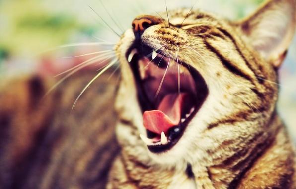 Картинка кошка, кот, усы, шерсть, мордочка, окрас, зевает, котэ