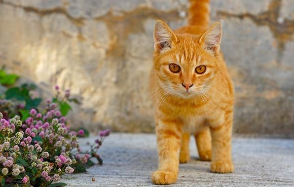 Картинка кошка, кот, цветы, рыжий, котёнок, рыжий котёнок