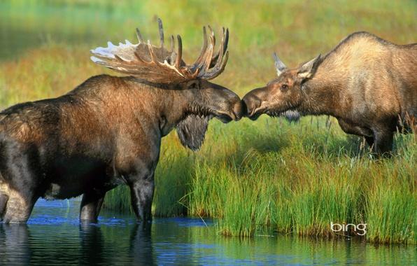 Картинка трава, река, Аляска, пара, рога, США, лось, Национальный парк Денали, Wonder Lake