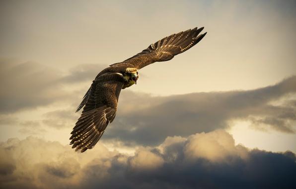 Картинка небо, полет, тучи, птица, орел, Switzerland, Buchs