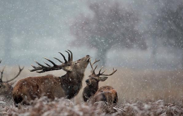 Картинка снег, природа, олени