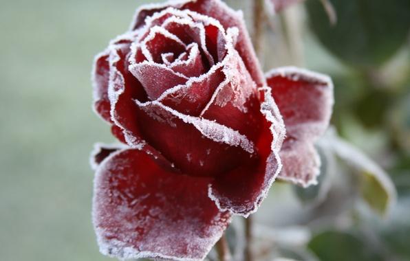 Картинка холод, иней, цветок, макро, цветы, фон, обои, роза, сад, мороз