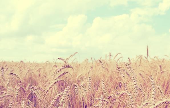 Картинка пшеница, поле, небо, облака, пейзаж, природа, колосья, sky, field, landscape, nature, clouds, 2560x1600, spikes, wheat