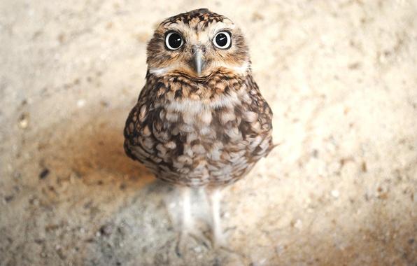Картинка сова, птица, смотрит, совенок