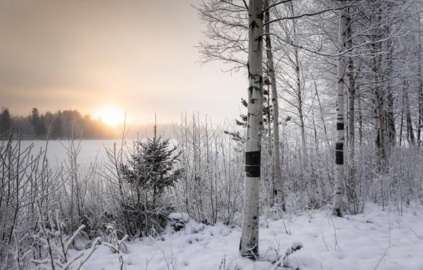 Картинка зима, утро, берёзы