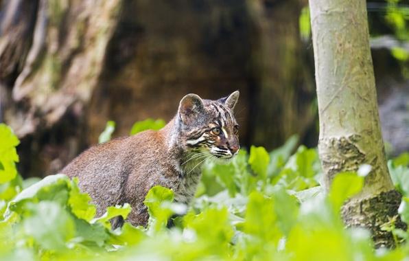 Картинка кошка, ©Tambako The Jaguar, золотой кот, темминка