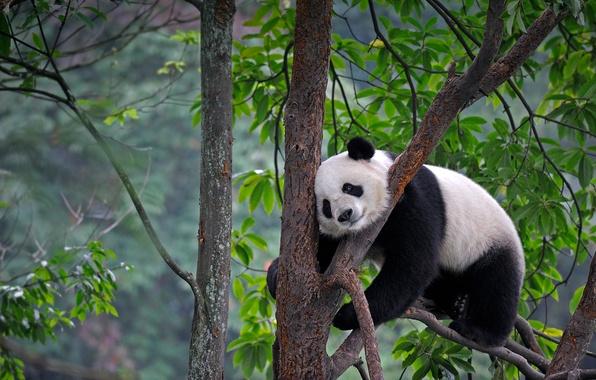 Картинка листья, природа, дерево, медведь, панда, Китай, Сычуань, Яань