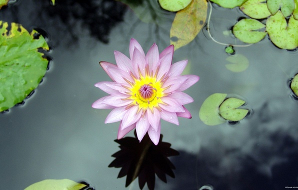 Картинка цветок, вода, озеро, лилия