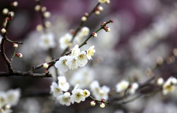 Картинка цветы, ветки, дерево, весна, цветение, фруктовое