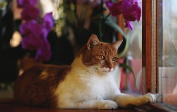 Картинка кот, взгляд, цветы, животное, рама, окно, рыжий, лежит