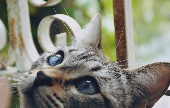 Картинка кошка, глаза, кот, шерсть, смотрит