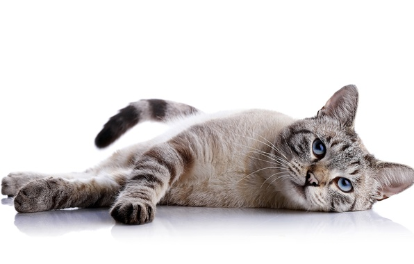 Картинка кот, взгляд, фон, животное, лежит, окрас