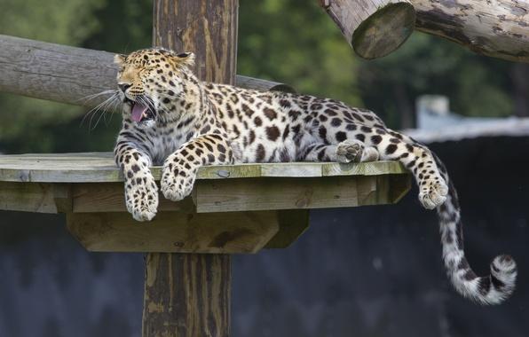 Картинка отдых, хищник, лапы, хвост, дикая кошка, зевает, зоопарк, амурский леопард