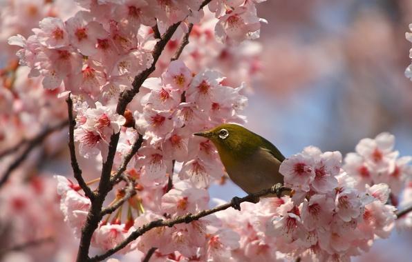 Картинка цветы, ветки, птица, весна, лепестки, сакура, цветение