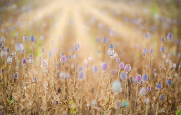Картинка поле, лето, маки