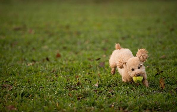 Картинка трава, газон, игра, мяч, собака, пушистая