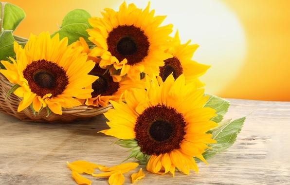 Картинка подсолнухи, цветы, стол, корзина, желтые, лепестки