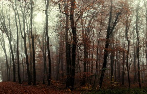 Картинка лес, деревья, туман, тропа, Осень, forest, trees, autumn, fog