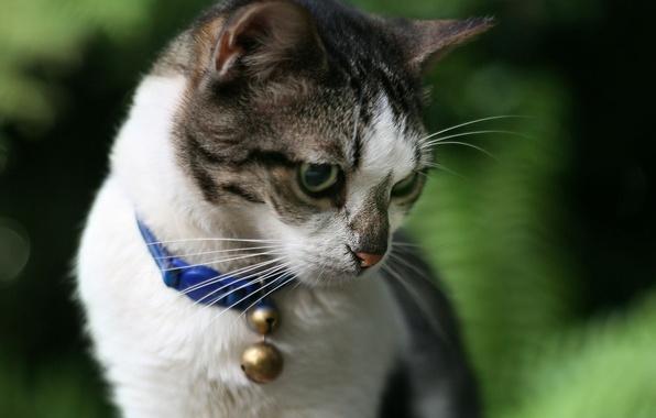 Картинка кот, ошейник, колокольчик