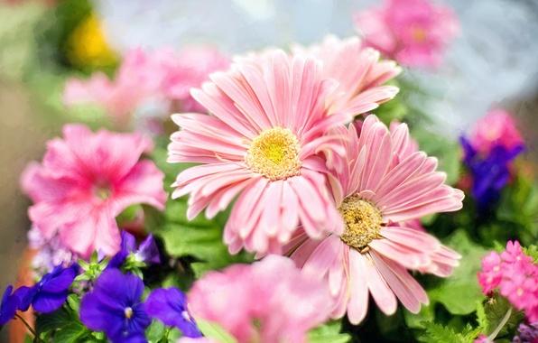 Картинка свет, цветы, весна, лепестки, сад, розовые, синие, боке, фиалки, Маргаритки