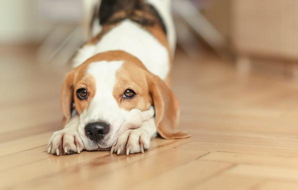Картинка собака, щенок, puppy, dog, домашнее животное, dogs, бигль, beagle, снуппи, pup, snoopy, снупи