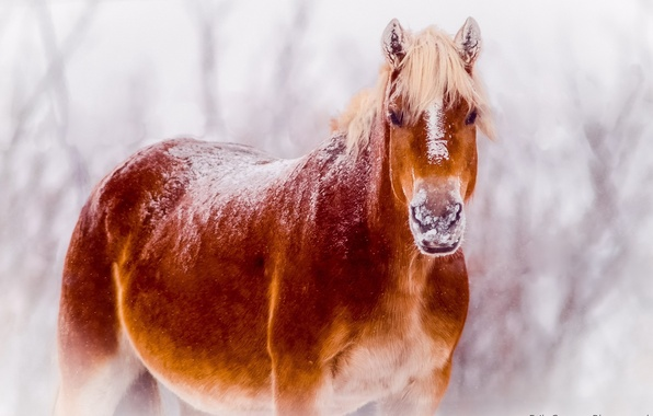 Картинка снег, природа, конь
