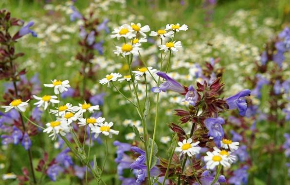 Картинка лето, ромашки, луг, полевые цветы