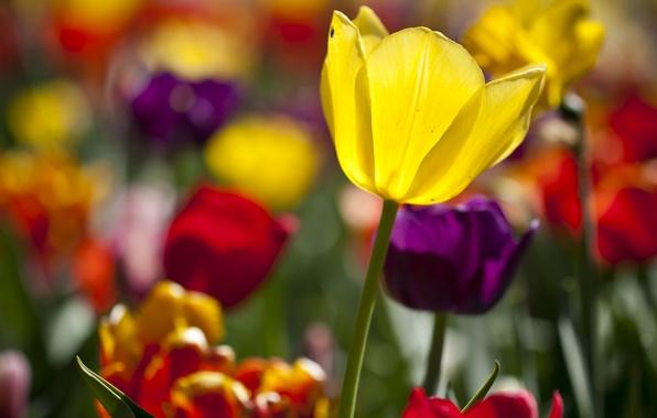 Картинка цветы, цветные, тюльпаны, солнечно, много, разные