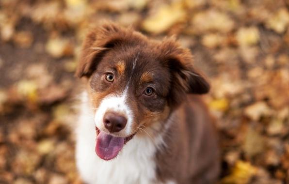 Картинка осень, листва, собака, Бордер колли