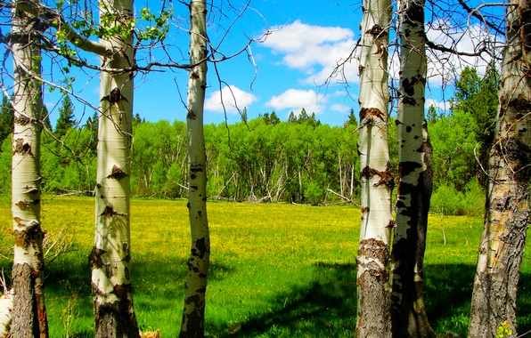 Картинка лес, небо, облака, деревья, цветы, весна, луг, береза, сша, oregon, осина