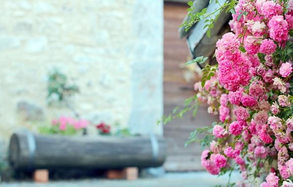 Картинка цветы, роза, куст, розовые, бревно, клумба, чайная