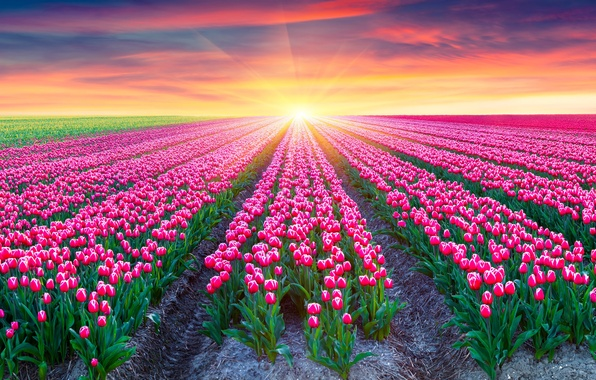 Тюльпаны картинки 2k фото скачать обои