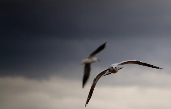Картинка небо, птицы, тучи, фон, обои, картинки, чайки, крылья, wallpapers