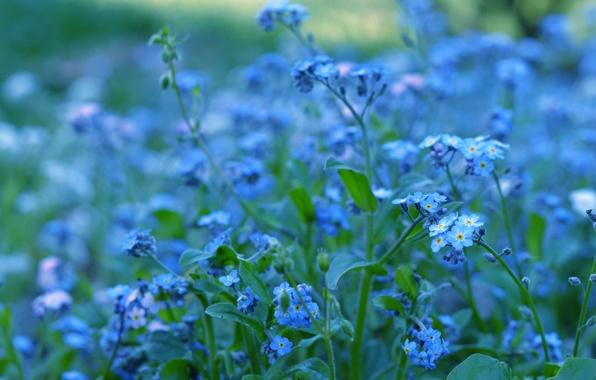 Картинка зелень, макро, цветы, природа, цвет, растения, размытость, голубые, синие, яркость, незабудки