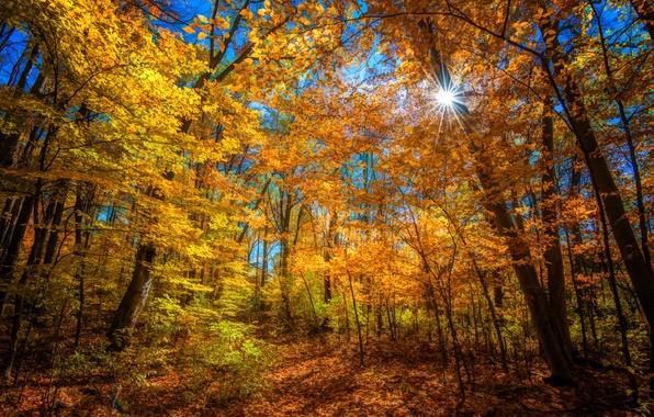 Картинка осень, лес, солнце, лучи, деревья, цвет, ярко
