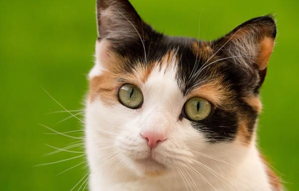 Картинка кошка, взгляд, мордочка, котейка