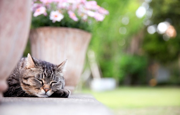 Картинка кошка, кот, морда, цветы, лапа, спит, вазон