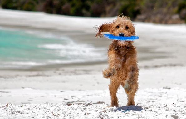 Картинка море, пляж, фон, друг, widescreen, обои, игра, собака, мокрая, play, wallpaper, wet, beach, sea, широкоформатные, …