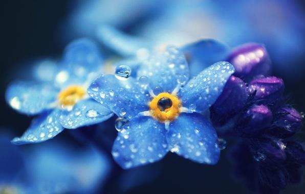 Картинка капли, макро, цветы, лепестки, голубые, Незабудки