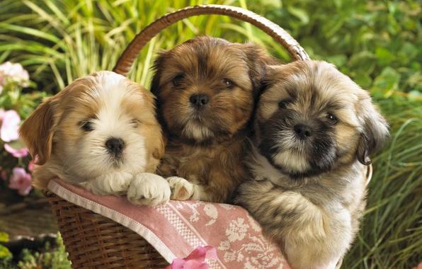 Картинка собаки, щенки, малыши, корзинка
